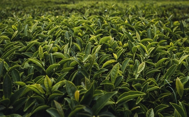tea estate in Sri lanka