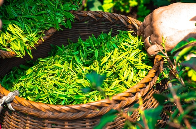 fresh, just plucked tea leaves
